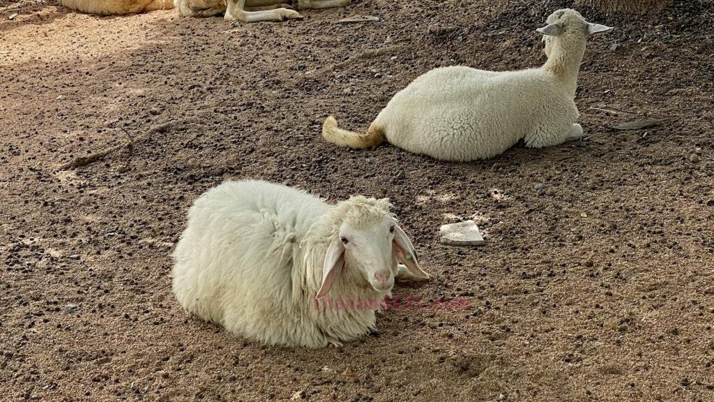 Schafe Schafsfarm Pattaya