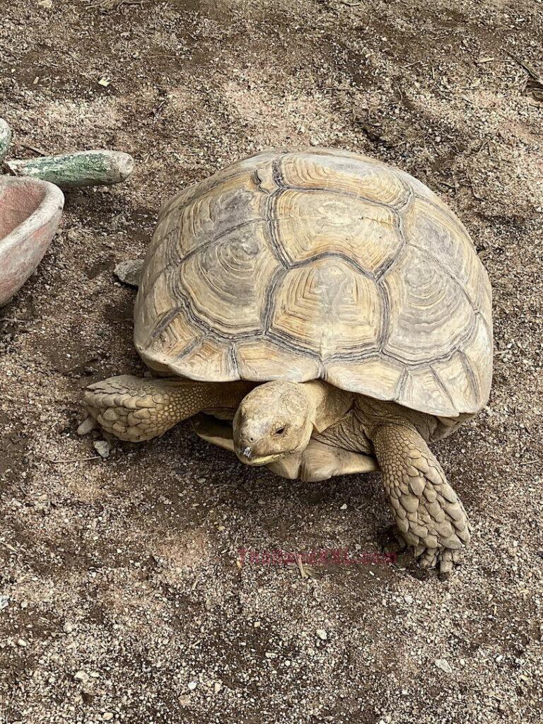 Schildkröte Schaffarm Pattaya